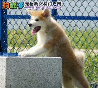 优秀纯种秋田犬低价直销 均是拉萨自家犬舍繁殖保品质