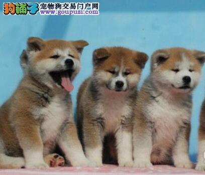 出售精品纯种日系深圳秋田犬 有防疫证明和质量三包