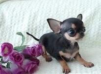 出售纯种墨西哥吉娃娃幼犬、大眼睛苹果头、小体娃娃