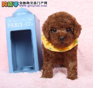 常年出售乌鲁木齐纯种健康的小玩具泰迪熊 随时可看狗
