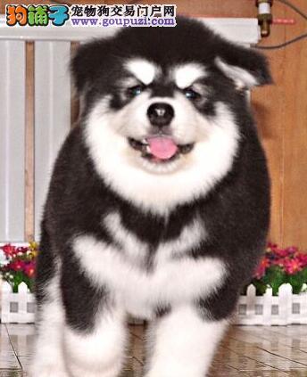 促销价直销双十字深圳阿拉斯加雪橇犬 可办理血统证书