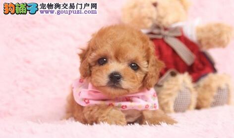 昆明狗场出售茶杯玩具血系的泰迪犬 一分价钱一分货