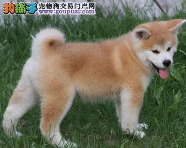 济南狗场出售疫苗齐全的秋田幼犬 请您放心选购爱犬