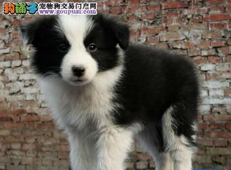超高智商的武汉边境牧羊犬低价转让 可随时上门看狗