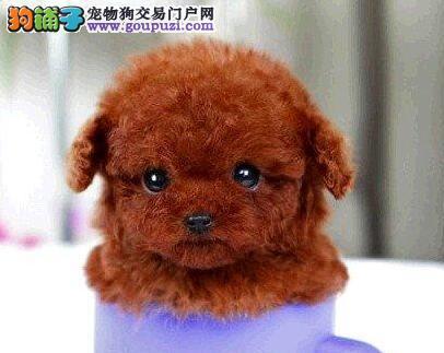 泰迪犬 不以价格惊天下 但以品质惊世人欢迎爱狗人士上门选购