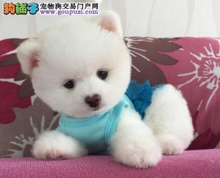 热销杭州博美犬 纯种哈多利版来犬舍购买可享多重优惠