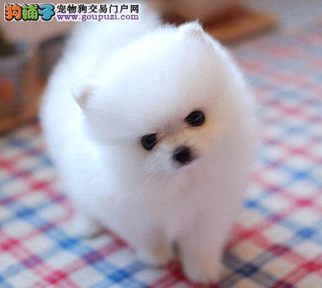热销博美犬幼犬,假一赔十质量保障,三年质保协议