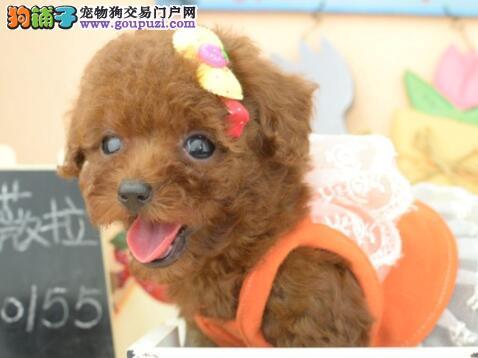 高品质优秀韩系贵宾犬犬舍热销 上海地区有实体店