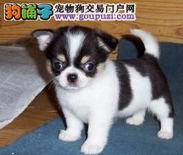 直销纯种 吉娃娃 幼犬可上门看狗