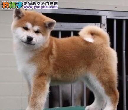 出售纯种秋田犬、金牌店铺品质保障、诚信经营保障
