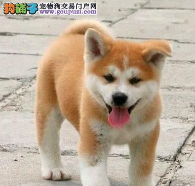 绵阳自家繁殖纯种日系秋田犬幼犬出售