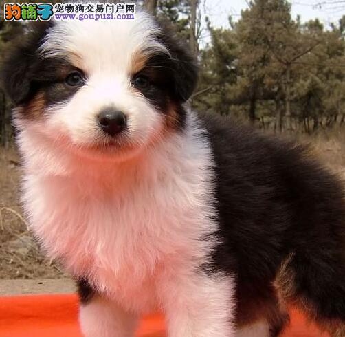 欢迎来深圳犬舍购买纯种七白边境牧羊犬 公母全保健康