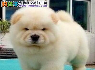 纯种大嘴深圳松狮犬低价转让 价格优惠公母都有保品质