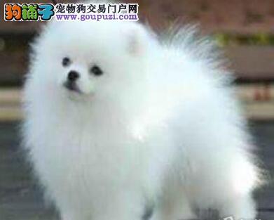 纯种哈多利版深圳博美犬低价促销 欢迎来犬舍直接购买