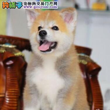 烟台CKU秋田犬正在待售 低调帅气 善良忠诚 你值得拥有