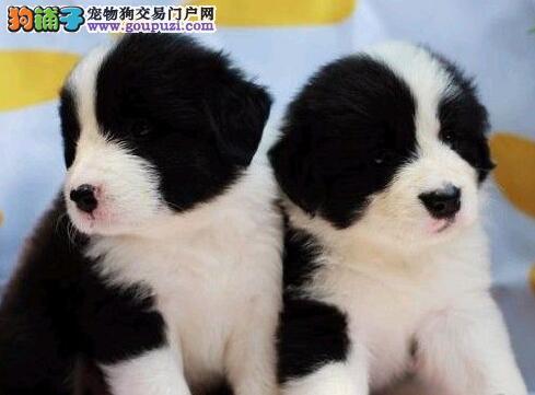 本地出售高品质边境牧羊犬宝宝喜欢微信咨询