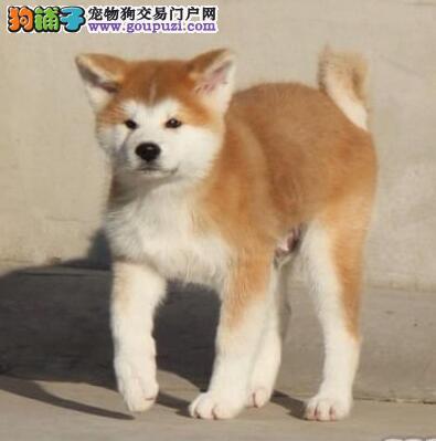 纯日本进口日系秋田犬数量有限提前电话预定