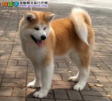 吉林实体狗场出售可爱活泼的秋田犬 保证纯种和健康