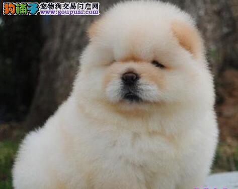 广州哪里买松狮 广州松狮犬 松狮多少钱 广州狗场