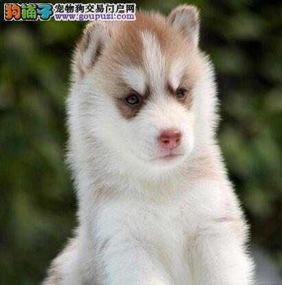广东正规狗场犬舍直销哈士奇幼犬喜欢加微信可签署协议