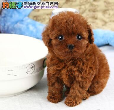 狗场直销出售厦门超小体泰迪犬 茶杯玩具血系多只供选