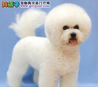 棉花糖版卷毛雪白色的杭州比熊犬特价出售 请放心选购