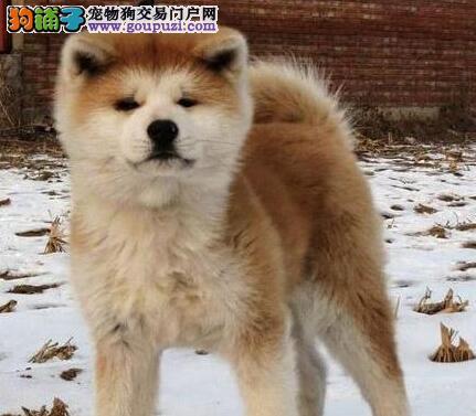 低价出售极品日系哈尔滨秋田犬 可办理血统证书双血统