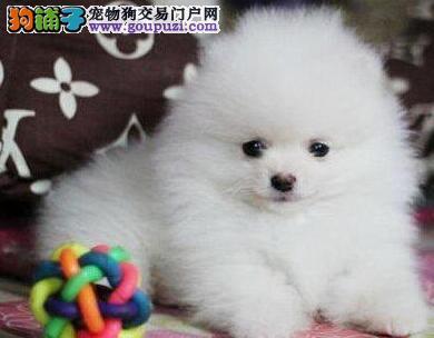 自家狗场繁殖出售深圳博美犬 已做疫苗和驱虫有证书