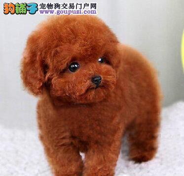 萌妹子们的首选 银川出售韩系顶级精品娃娃脸泰迪宝宝