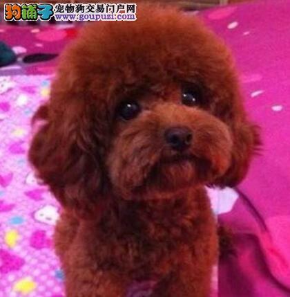 郑州正规犬舍高品质泰迪犬带证书喜欢加微信可签署协议