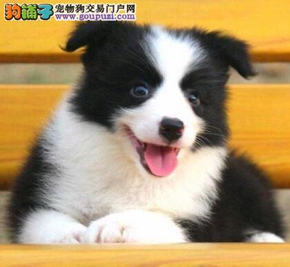 极品纯种西安边境牧羊犬出售中 有问题可退换包您满意