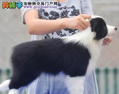 聪明人见人爱的南京边境牧羊犬找新家 值得您拥有