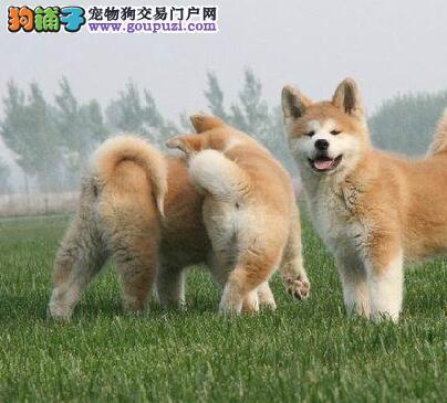 出售多种颜色曲靖纯种秋田犬幼犬质量三包完美售后