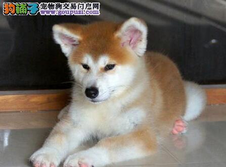成都哪里有卖纯种秋田幼犬、秋田幼犬多少钱价格