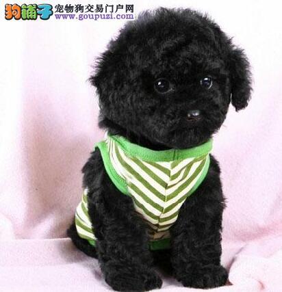 出售家养大连泰迪幼犬 保证健康 价格合理 品种纯正