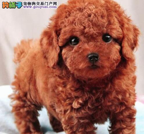 都市萌犬 丽人最佳伴侣 太原出售纯种泰迪熊