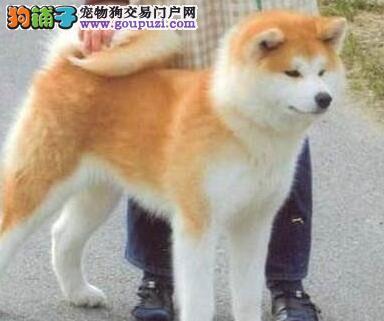 贵阳正规狗场犬舍直销秋田犬幼犬提供护养指导