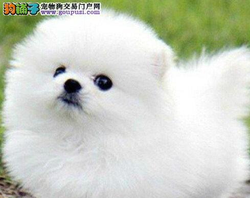 南京大型狗场出售顶级哈多利球体博美幼犬 欲购从速