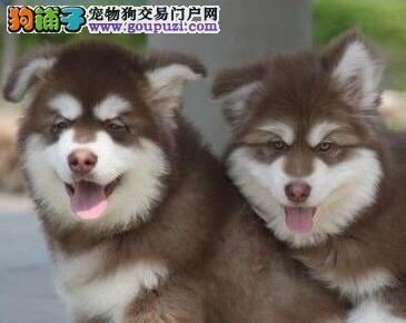 优质阿拉斯加雪橇犬热卖中 南宁附近可免费送货上门