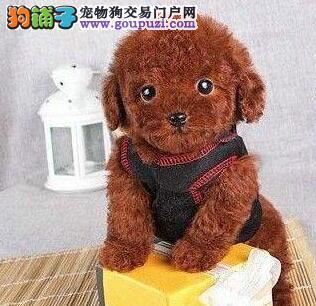 极品韩系南宁泰迪犬促销出售 有血统证书可上门挑选
