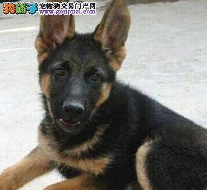 直销大头德国牧羊犬 长沙本地有专业犬舍保证质量
