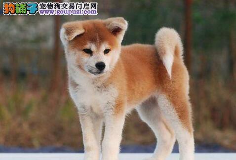 犬舍直销品种纯正健康黄南州秋田犬同城免费送货上门