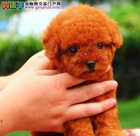 淄博知名繁殖基地直销公母均有的泰迪犬 数量有限