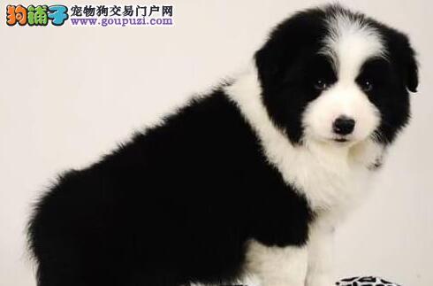广州专业基地繁殖出售聪明的边境牧羊犬 健康质保