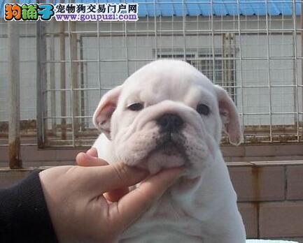 专业养殖基地销售广州斗牛犬 绝对保证纯种健康