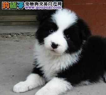 上海实体店铺低价直销健康边境牧羊犬 上门购买可优惠