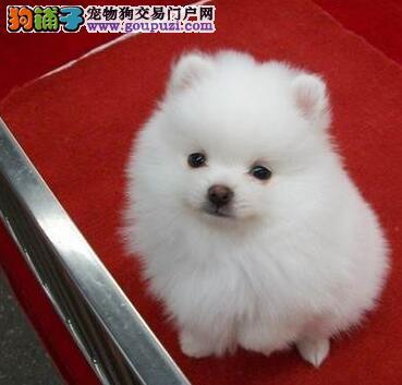 热销健康博美犬 公母都有保品质欢迎来上海实地考察