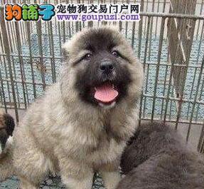 出售巨型高大威猛的黄浦高加索犬 保品质保健康