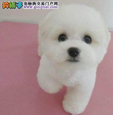 可爱乖巧的比熊犬重庆出售 冰雪聪明 可看爸妈上门挑选