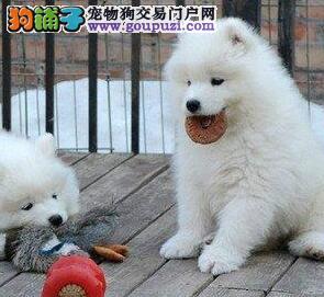 杭州哪里出售萨摩耶幼犬 纯种萨摩耶犬价格